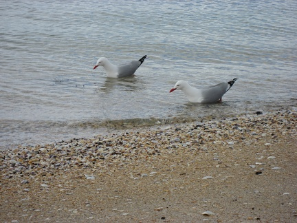 Birds on the beach in Devenport